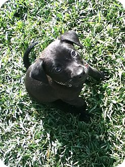 Labrador Retriever Mix Puppy for adoption in Torrance, California - JEFFERSON