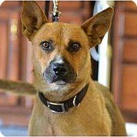 Adopt A Pet :: Copper - Nashville, TN