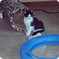 Adopt A Pet :: Oz (personality!!) - Sterling Hgts, MI
