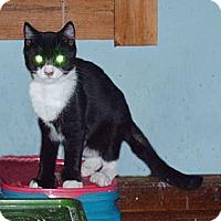 Adopt A Pet :: Mittens - Hampton, CT