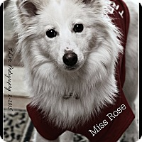 Adopt A Pet :: Rose - Elmhurst, IL