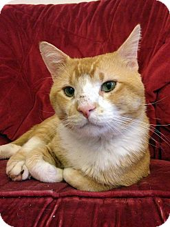 Domestic Shorthair Cat for adoption in St. Louis, Missouri - Tom