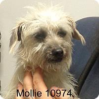 Adopt A Pet :: Mollie C - baltimore, MD