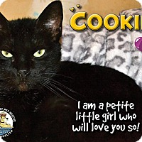 Domestic Shorthair Cat for adoption in Davenport, Iowa - Cookie