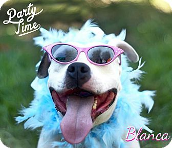American Staffordshire Terrier Dog for adoption in Columbia, Tennessee - Blanca