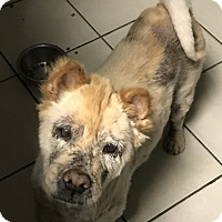 Shar Pei/Chow Chow Mix Dog for adoption in Eastsound, Washington - MOSES