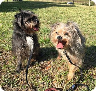 Japanese Chin/Miniature Schnauzer Mix Dog for adoption in DeLand, Florida - KOKO & DIESEL