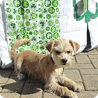 Adopt A Pet :: Shillelagh - West Chicago, IL