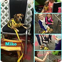 Adopt A Pet :: Miko Jackweenie - Greenwood, LA