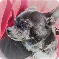 Chihuahua Mix Dog for adoption in Germantown, Maryland - Court