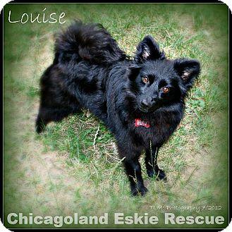Spitz (Unknown Type, Small) Mix Dog for adoption in Elmhurst, Illinois - Louise