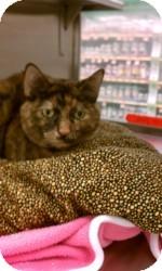Turkish Angora Cat for adoption in Gilbert, Arizona - Rita