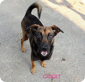 Chihuahua Mix Dog for adoption in Silsbee, Texas - Gidget