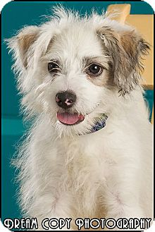 Poodle (Miniature)/Terrier (Unknown Type, Small) Mix Puppy for adoption in Owensboro, Kentucky - Milo