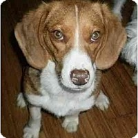 Adopt A Pet :: Jasmine COURTESTY POST - Indianapolis, IN
