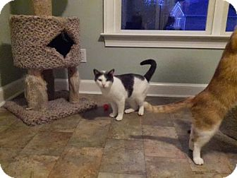 Domestic Shorthair Cat for adoption in Chesapeake, Virginia - Clyde
