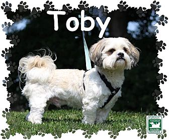 Lhasa Apso Mix Dog for adoption in Fallston, Maryland - Toby
