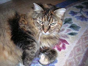 Domestic Longhair Cat for adoption in Midvale, Utah - Christie
