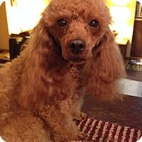 Adopt A Pet :: Cinnamon - Adoption Pending - Gig Harbor, WA
