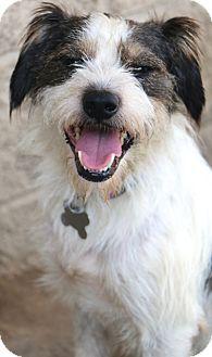 Schnauzer (Miniature)/Terrier (Unknown Type, Small) Mix Dog for adoption in Allentown, Pennsylvania - Wilkins