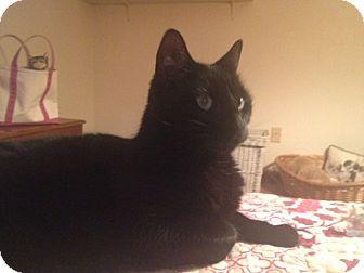 Domestic Shorthair Cat for adoption in Acushnet, Massachusetts - Honzo