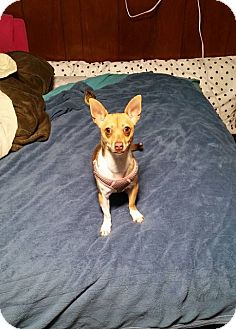 Chihuahua Mix Dog for adoption in Sharon Center, Ohio - Ellie - PENDING