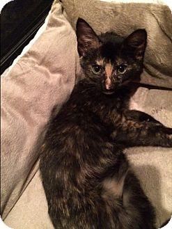 Calico Kitten for adoption in Denver, North Carolina - Glinda