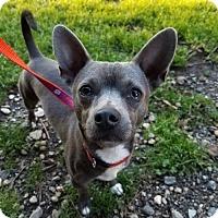 Adopt A Pet :: Bleu - Shelburne, VT