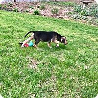 Adopt A Pet :: Bob (RBF) - Spring Valley, NY