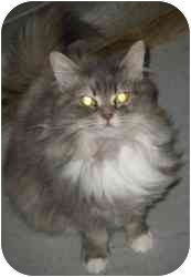 Domestic Longhair Cat for adoption in Strathmore, Alberta - Cashmere