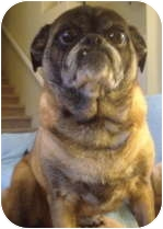 Pug Dog for adoption in Strasburg, Colorado - Emily