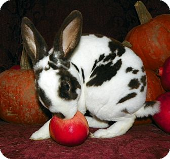 Mini Rex for adoption in North Gower, Ontario - Goblin