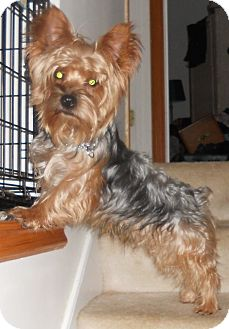 Yorkie, Yorkshire Terrier Dog for adoption in batlett, Illinois - Yogi
