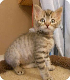 Domestic Shorthair Kitten for adoption in Reston, Virginia - Jill