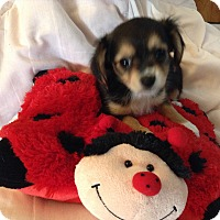 Adopt A Pet :: Princess BLD - Pinellas Park, FL