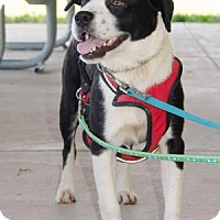 Boxer Mix Dog for adoption in Midlothian, Virginia - Lisa