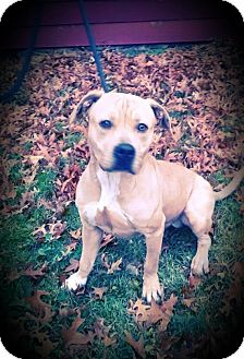 American Pit Bull Terrier Dog for adoption in Cherry Valley, New York - Simba