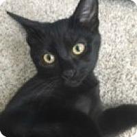 Adopt A Pet :: Midnight - McHenry, IL