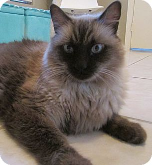 Ragdoll Cat for adoption in Gilbert, Arizona - Fred