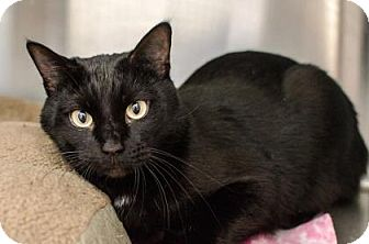 Domestic Shorthair Cat for adoption in Peace Dale, Rhode Island - Usher