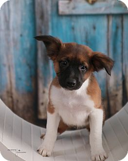 Collie/Shepherd (Unknown Type) Mix Puppy for adoption in Waterbury, Connecticut - Prince