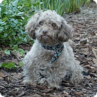 Adopt A Pet :: Fozzie - Rancho Palos Verdes, CA