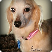 Dachshund Dog for adoption in Omaha, Nebraska - Irene