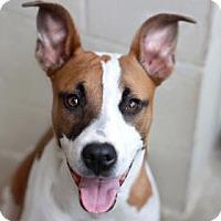 Adopt A Pet :: GALAXY - Kyle, TX