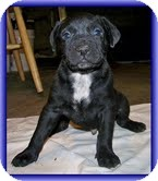 Labrador Retriever/American Bulldog Mix Puppy for adoption in Allentown, Pennsylvania - Geo