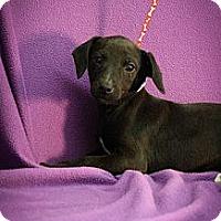Adopt A Pet :: Nani - Broomfield, CO