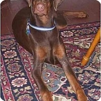 Adopt A Pet :: Moses-Purebred - Chandler, IN