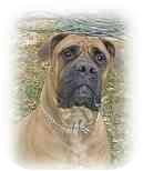 Bullmastiff Dog for adoption in North Port, Florida - Nova