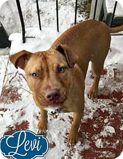 American Pit Bull Terrier Dog for adoption in Roanoke, Virginia - Levi