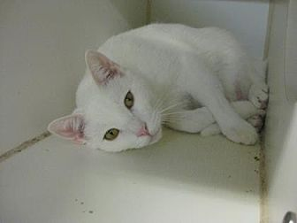 Domestic Shorthair Cat for adoption in Roseville, California - Pinky